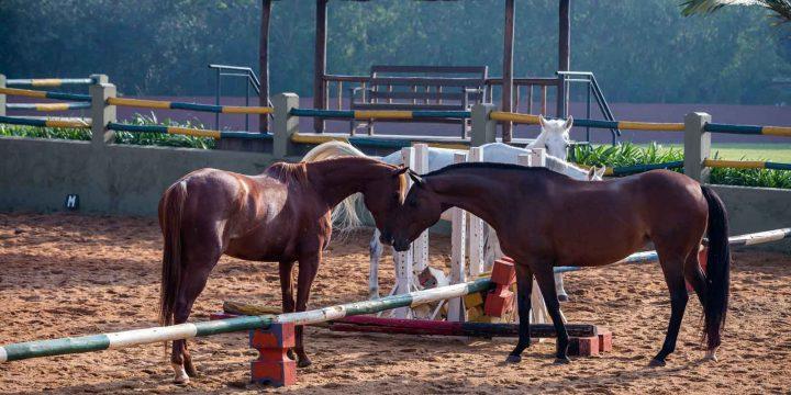 speke-resort-horses